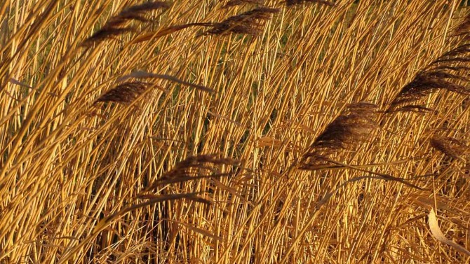Reed beds 1